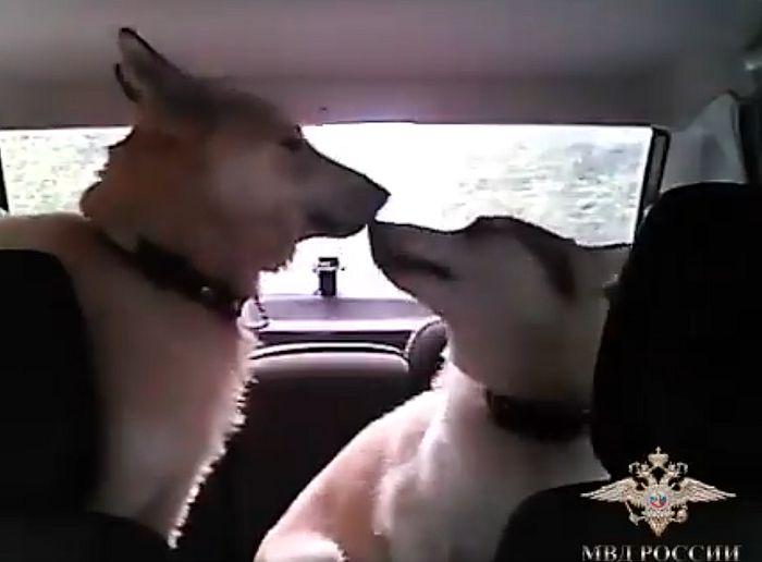 Инспектор ДПС убедил потерявшихся в лесу собак сесть к нему в автомобиль и отвез хозяину: видео | CityTraffic