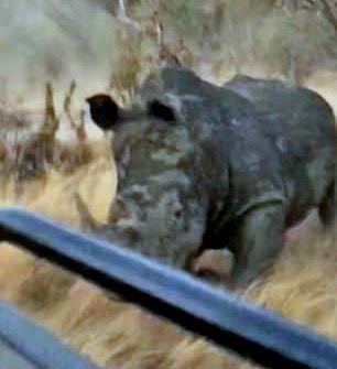 Разъяренный белый носорог рванул вдогонку за джипом туристов: видео | CityTraffic