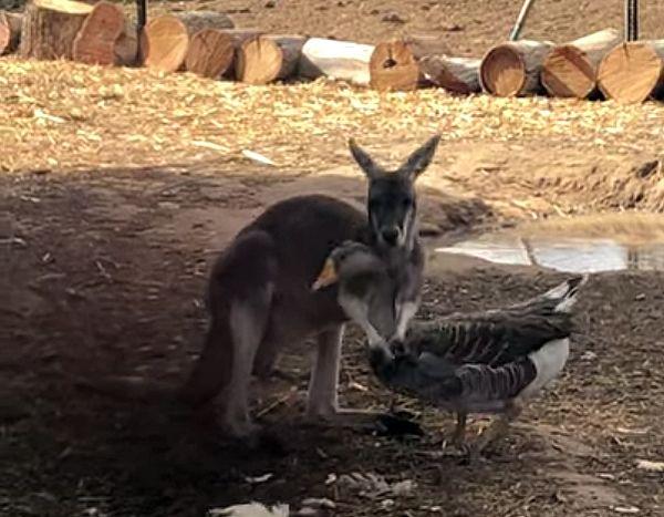 Кенгуру и гусыня так подружились, что при встрече бросались друг другу в объятия: видео | CityTraffic
