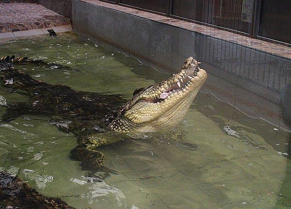 Самарцам покажут, как крокодилы поедают грызунов | CityTraffic