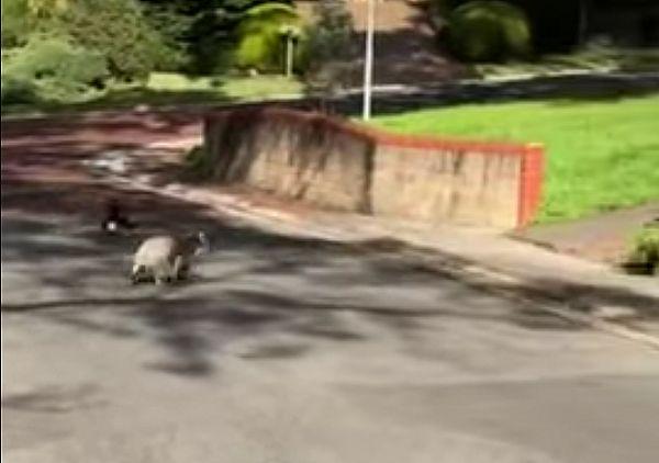 Сорока атаковала коалу, мирно гулявшего в парке: видео | CityTraffic