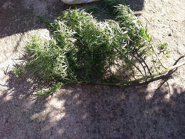 У жителя Самарской области дома обнаружен куст конопли массой почти полкило | CityTraffic