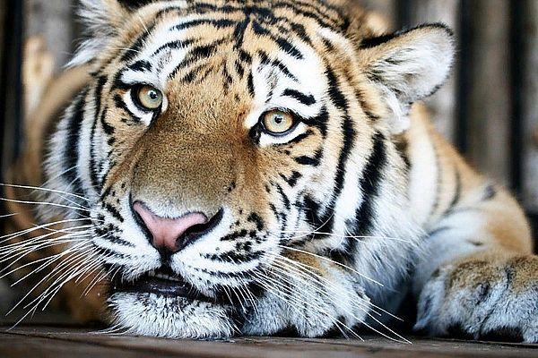 Жители Самары отметят Международный день тигра | CityTraffic