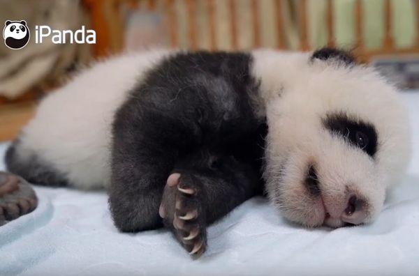 Сонный детеныш панды пытается встать, но каждый раз снова засыпает: видео | CityTraffic
