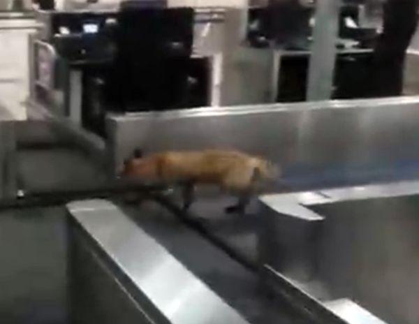 В аэропорту Домодедово между стоек регистрации бегала лиса: видео | CityTraffic