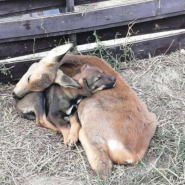 Жители Самары спасли детеныша косули от смерти и хотят построить ему дом у себя в огороде | CityTraffic
