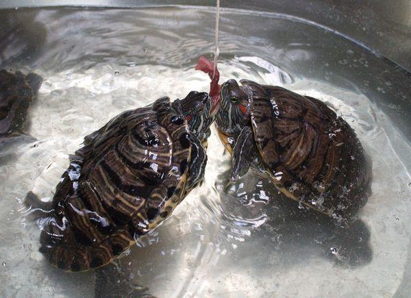 Жители Самары могут покормить красноухих  черепах и погладить   пятнистого эублефара | CityTraffic