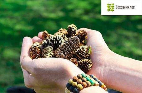 Минлесхоз Самарской области зовет за сосновыми шишками | CityTraffic