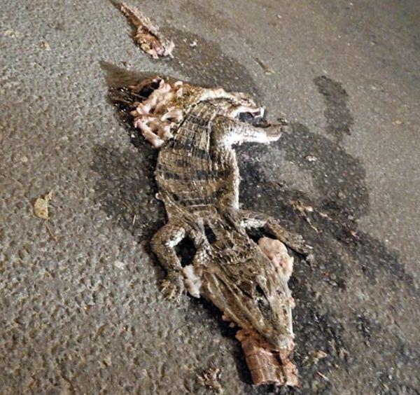 Под Москвой на шоссе сбили крокодила | CityTraffic