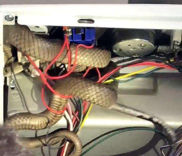 Ядовитая метровая змея забралась в кухонную плиту и запуталась в проводах: видео | CityTraffic