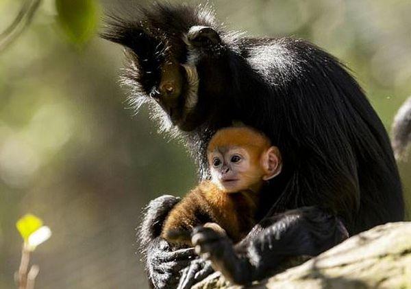 В сиднейском зоопарке родилась обезьянка в оранжевыми волосами: видео | CityTraffic