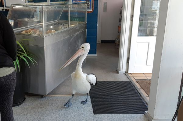 Пеликан пришел в ресторан фаст-фуда и встал в очередь: видео | CityTraffic