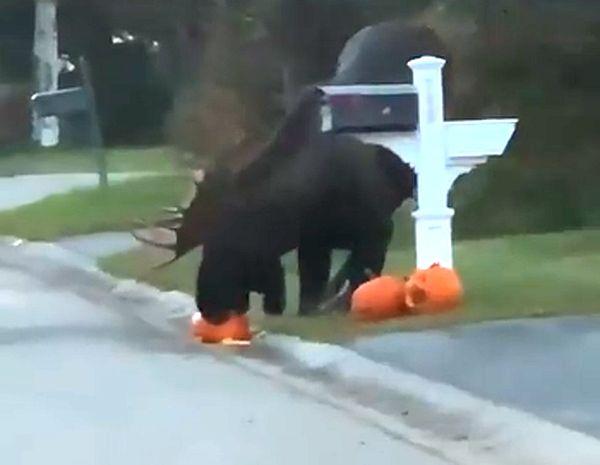 Лось решил, что тыквам для Хэллоуина самое место в его желудке: видео | CityTraffic