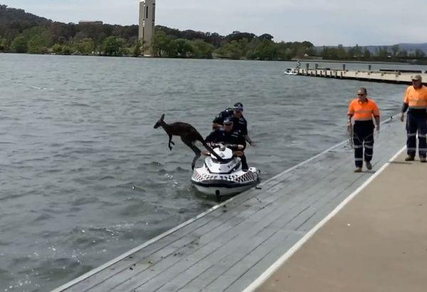 Кенгуру пытался уплыть от полицейских, которые хотели его спасти: видео | CityTraffic