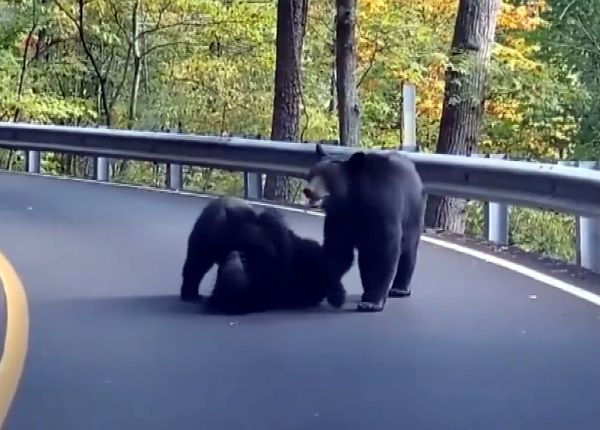 Туристы сняли на видео играющих прямо на дороге трех медведей: видео   CityTraffic