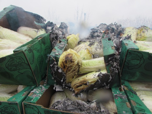 В Самарской области сожгли полтонны пекинской капусты, зараженную переносчиком вирусов