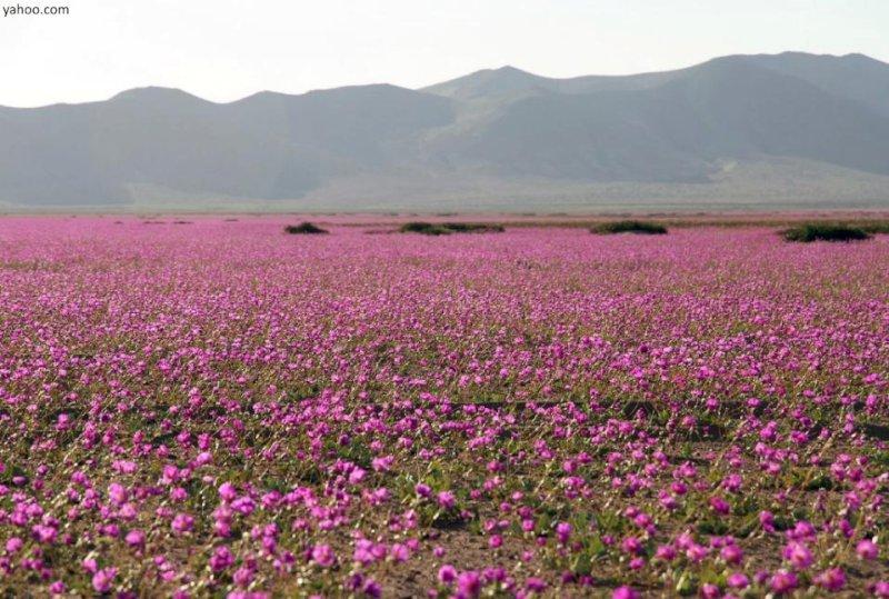 Самая сухая пустыня вмире—Атакама вЧили—покрылась цветами