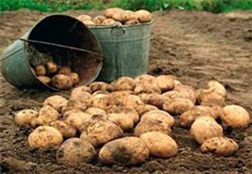 В Тольятти подорожала привозная картошка