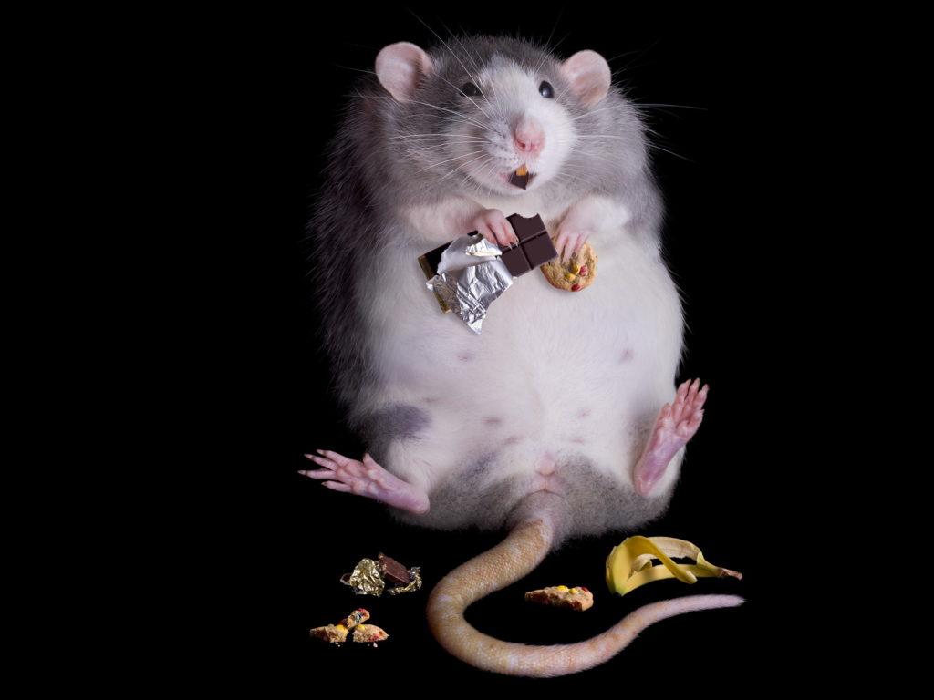 Ученые: мыши с ожирением быстрее стареют и больше тревожатся | CityTraffic