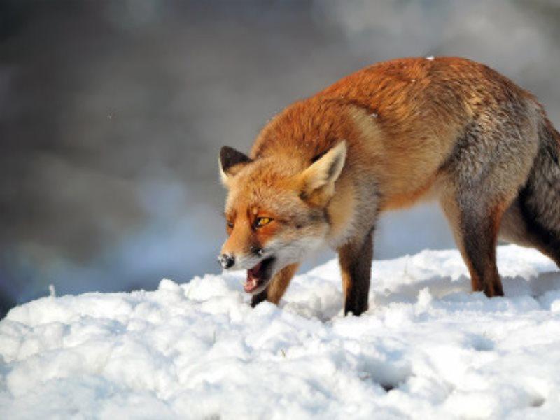 Из-за бешеной лисы вселе Самарской области введен карантин