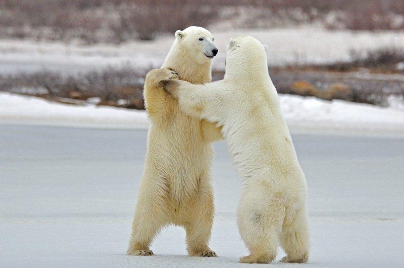 В Архангельской области объявлен режим ЧС из-за нашествия белых медведей