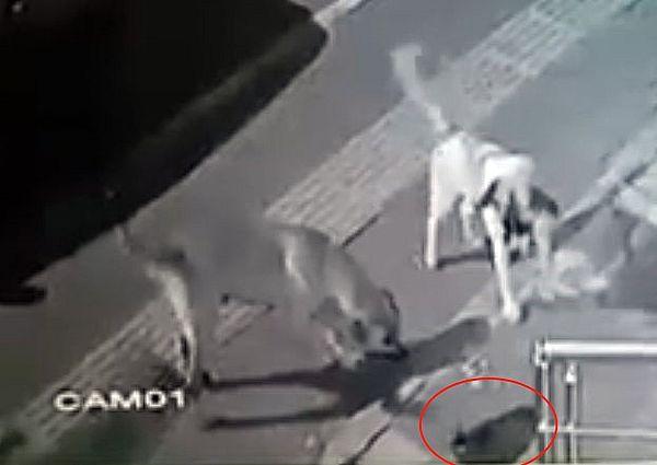 Кот не оставил шанса стае бродячих собак, оказавшихся на его территории: видео | CityTraffic