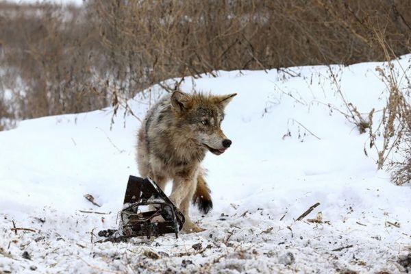 Прокуроры Самарской области требуют запретить информацию о продаже браконьерских капканов | CityTraffic