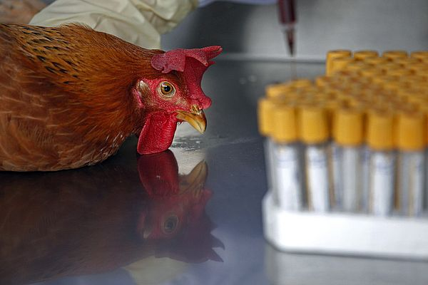 Недалеко от Самарской области выявлен птичий грипп | CityTraffic