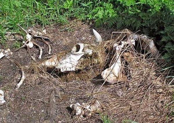 На территории Самарской области нужно ликвидировать 261 скотомогильник | CityTraffic