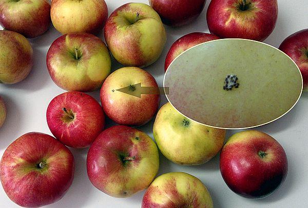 В аэропорту Курумоч у гражданина Таджикистана изъяли опасные яблоки и сожгли их | CityTraffic