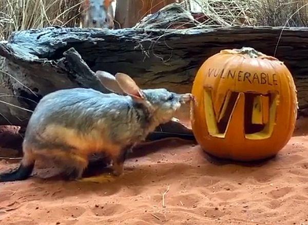 На Хэллоуин редким и исчезающим животным подарили тыквы-фонари: видео | CityTraffic