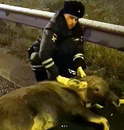 Полицейские спасли лося, который застрял в дорожном ограждении: видео | CityTraffic