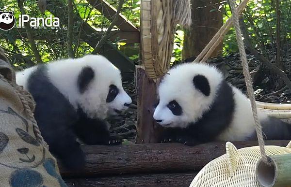 Двум медвежатам панды лень даже подраться: видео | CityTraffic