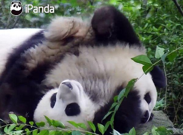 Детеныш панды решил постоять на голове, пока мама спит: видео | CityTraffic