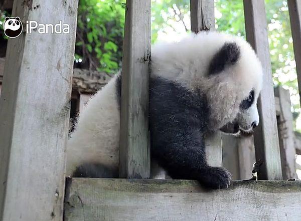 Пухлая панда демонстрирует фигуру, протискиваясь через забор: видео | CityTraffic