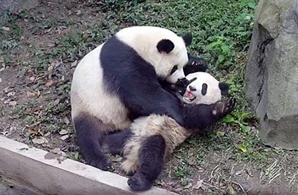 Панда-мать отбирает у своего детеныша яблоко становясь его учителем дзен: видео | CityTraffic