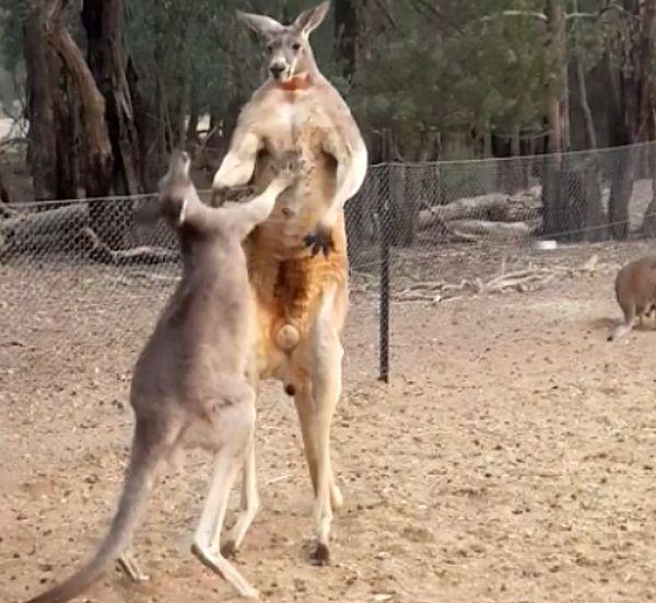 Маленький кенгуру показал большому, что готов сражаться за место под солнцем: видео | CityTraffic