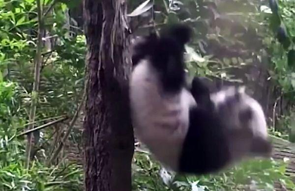 Детеныш панды свалился вниз, штурмуя дерево: видео | CityTraffic