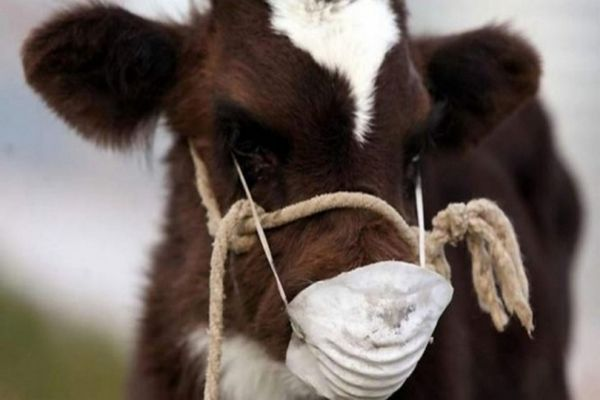 В нескольких районах Самарской области отменён карантин по лейкозу крупного рогатого скота | CityTraffic