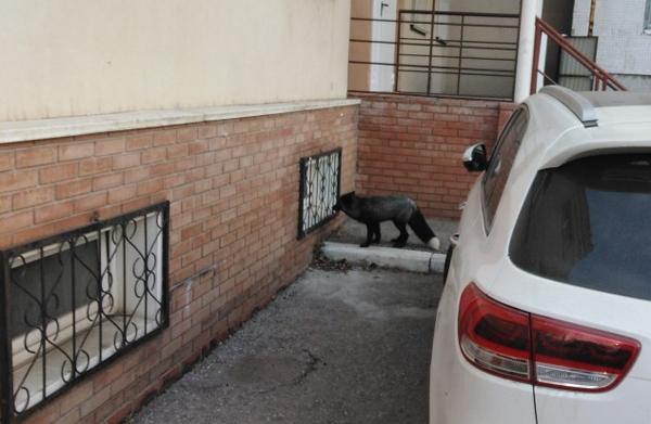 В Тольятти во дворе многоэтажного дома ловили чернобурую лису | CityTraffic