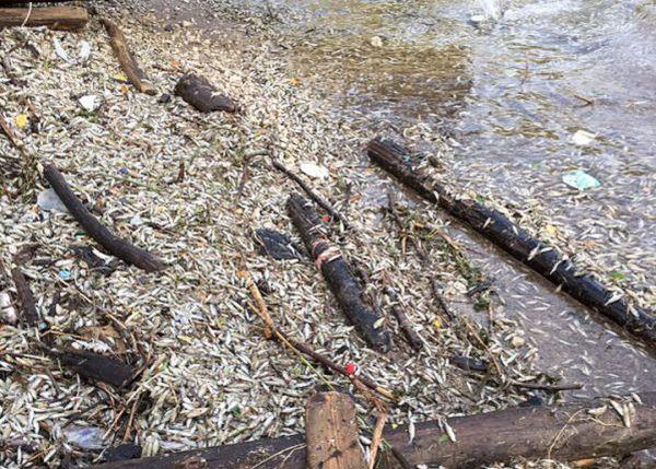 На Волге в Тольятти и его окрестностях массово гибнет рыба | CityTraffic