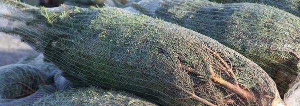 Роспотребнадзор назвал оптимальную дату покупки елки к Новому году | CityTraffic