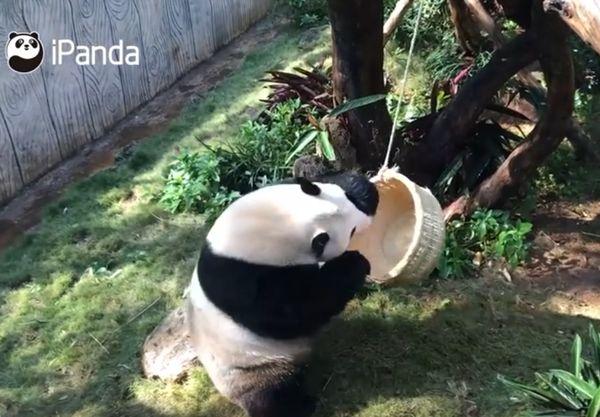 Что делают панды, чтобы стать Кунг-фу Пандами:  видео | CityTraffic