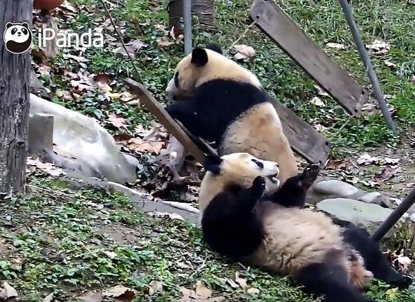 Две панды так сражались за место на качелях, что сломали их: видео | CityTraffic