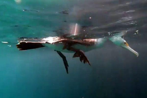 Баклан под водой чуть не столкнулся с дайверами, когда искал рыбу: видео | CityTraffic
