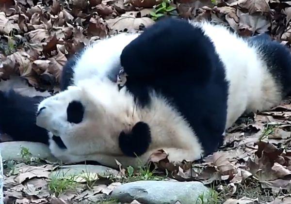 Панда героически пытается проснуться утром, но сдается: видео   CityTraffic