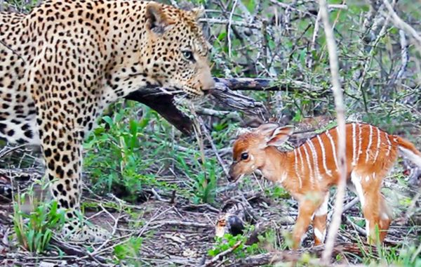 Детеныш антилопы напал на леопарда вместо того, чтобы бежать: видео   CityTraffic