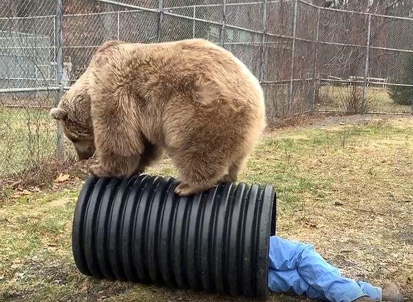 Медведица пытается спасти любимого хозяина из ловушки, в которую тот попал нарочно: видео | CityTraffic