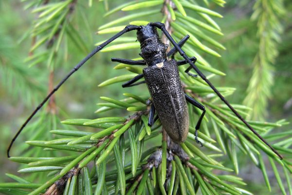Жуки-вредители с новогодней елки могут повредить мебель в доме | CityTraffic