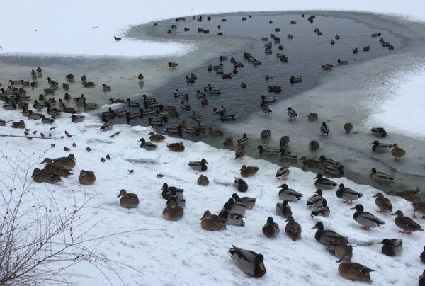 Жители Тольятти обеспокоены судьбой уток, которые остались зимовать в городе   CityTraffic